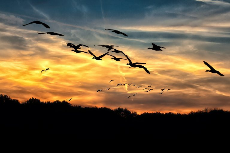 geese silhouetted, sunset and clouds
